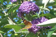 The butterfly's dream of flowers / I fain would ask, - / But it is voiceless. (Reikan, 1779-1860, haiku poet)