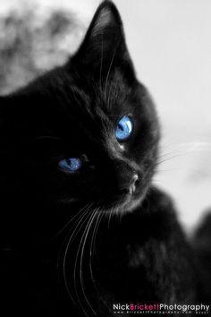 CAT: Blue Eyes Blackie