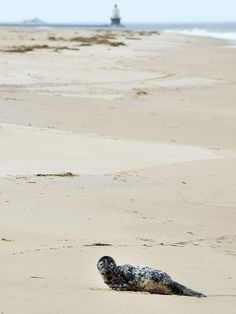 Check out this adorable baby seal pup in Cape Henlopen State Park, Delaware Seal Pup, Baby Seal, Lewes Delaware, Delaware State, Delaware Restaurants, Beautiful Places In America, American National Parks, Rehoboth Beach, Best Hikes