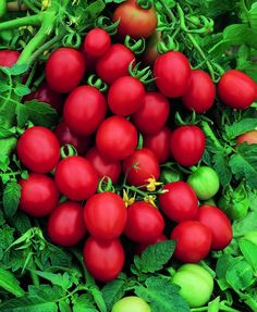 Tomato 'Sugar Plum' By being self-sufficient, you gain creativity and almost 0 evil money to waste, I live without money since 22 years, therefore, my  contribution 2  pollution is 0, I protect life eating only vegan organics instead of death tortured animals, go green 4 all you do and live, support the system and die 4ever, https://ninaohman4life.wordpress.com/2015/03/04/65/, https://stargate2freedom.wordpress.com/2016/06/26/actual-corrupted-governments-money-systems,