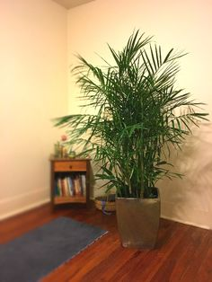 New Indoor plant, Bamboo Palm. There is nothing like having trees and plants in your home for a beautiful and calming feeling. #alive
