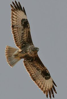 The buzzards wheeling in the view from Home Farm. When hungry or hunting in pairs, they utter high-pitched calls.