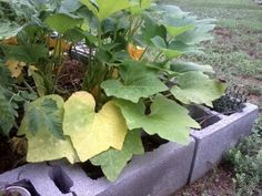 yellow squash leaves