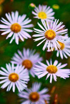 Continuing with my daisy love  Claire Sianna Seaman, via 500px