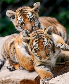 Two siberian baby tigers