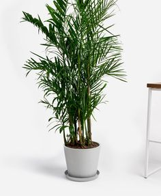 Best Garden Decorations Tips and Tricks You Need to Know - Modern Bamboo In Pots, Bamboo Palm, Potted Bamboo, All Plants, Water Plants, Indoor Plants, Amazing Gardens, Beautiful Gardens, Lower Lights