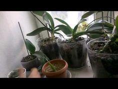 Erkan Şamcı Orkide Bakımı - Karanlıkla Çiçeklendirme Yöntemi - YouTube