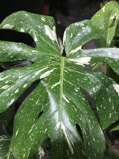 Monstera 'Thai Constellation' deliciosa variegata Variegated Plants, Mother Plant, Rare Plants, Tropical Plants, Constellations, Vines, Plant Leaves, Green, Beautiful