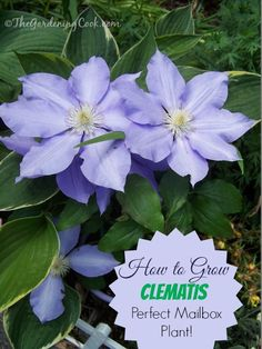 How to Grow Clematis - The perfect plant for a mail box.
