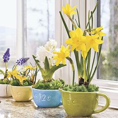 Spring Bulbs in Measuring Cups for the Kitchen