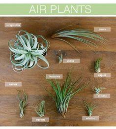 """223 Likes, 15 Comments - Bloom Designs (@allthebloom) on Instagram: """"What's your favorite air plant? Medusa is definitely on top of our list! #bloomcertified…"""""""