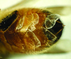 Wax glands on female worker bee
