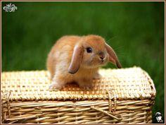 baby bunnies - baby-bunnies photo