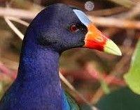 Pollona Azul o Taguita Purpúrea. Porphyrio martinica, originaria de el pantano tropical del sudeste de los Estados Unidos migra a las regiones tropicales, como Florida Centroamérica y el Caribe y Sudamérica.