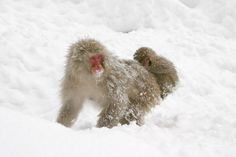 The Snow Monkeys of Jigokudani | Monkeys bathing in an onsen in Yamanouchi, Nagano | Features | SnowJapan