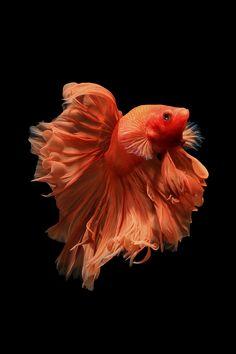 Orange betta fish Isolated on black background - Siamese fighting fish Isolated on black background