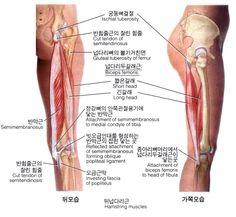 넙다리(대퇴)의 근육 14 - Semimembranosus 반막근 반막상근(半膜狀筋) : 네이버 블로그