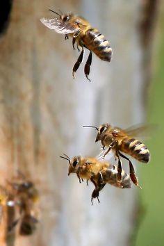 Las abejas obreras pasan su corta vida realizando labores. Sin su trabajo altruista la colmena no podría sobrevivir. Sustentan una sociedad de chicas laboriosas y extremadamente conscientes de que su trabajo es vital para la supervivencia de la reina y sus hermanas. Foto: Paul Spierings