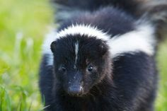God uses friction in community to create good - Women of the ELCA Getting Rid Of Skunks, Skunk Smell, When You Come Home, Pet Shampoo, Cat Pee, Pet Life, Black Bear, Panda Bear, Dog Owners