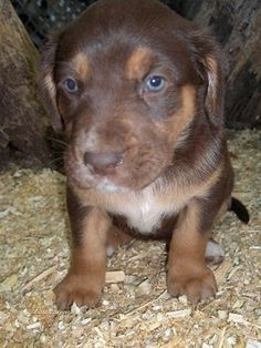 Boxador Puppy for Sale in Ohio PUPPIES