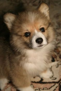 Fluffy Corgi puppy, adorable!