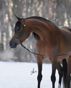 Marjjana VA, arabian horse