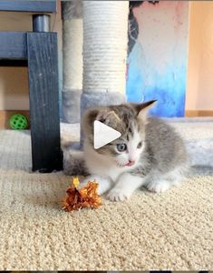 There must be something about this crinkle ball that inspires sneak attacks Turkey is a wild rough and tumble. What Cat, Dancing Cat, Kitten Rescue, Funny Moments, Tumblr Funny, Funny Dogs, Cute Cats, Kittens, Hilarious