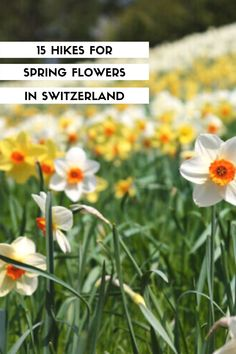 The best spring flower hikes in Switzerland for April to June, to see cherry blossoms, crocus, narcissus, dandelions and wildflowers. Click through for trail maps, directions and all the details you need to plan your hike. Best Of Switzerland, Hiking With Kids, Trail Maps, Zermatt, Best Hikes, Dandelions, Cherry Blossoms, Hiking Trails, Wildflowers