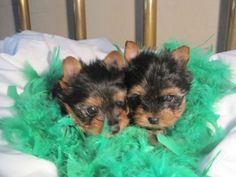 Find Ocala classifieds for homes, used cars, golf carts, furniture and more. Post your free classified today for Ocala, FL. Teacup Yorkie, Yorkies, Teacups, Toys, Animals, Activity Toys, Animales, Animaux, Clearance Toys