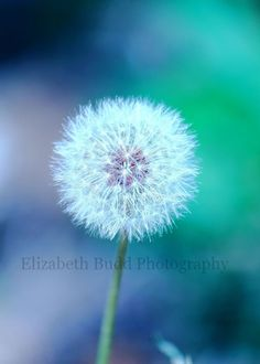 Dandelion Photo  5 X 7 inches  Elizabeth by PhotographicImagery, $7.95