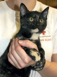 Meet Cupid, a Petfinder adoptable Domestic Short Hair Cat | Enterprise, AL | Cupid is a 5 month old female Tortoiseshell kitten.Behavior and personalities are based on what we...