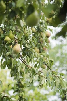 Pruning A Pear Tree: Tips For Trimming Pear Trees