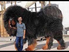 Big dog breeds - 10 Huge Dog Breeds That Just Give You More To Love Huge Dog Breeds, Huge Dogs, Giant Dogs, Biggest Dog Breeds, Big Animals, Cute Baby Animals, Animals And Pets, Funny Animals, Beautiful Dogs