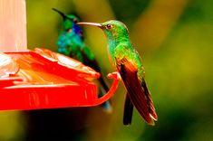 Este néctar es totalmente natural, de tal manera que puedes hacerlo en casa y dárselo en bebedero a los colibríes que rondan tu hogar, ¡es fácil prepararlo! Christmas Wreaths, Mandala, Birds, Pets, Nature, Animals, Amor, Humming Bird Feeders, Homemade Bird Feeders