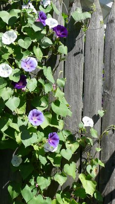 286 Best Morning Glories Images Plants Morning Glory