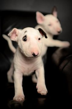Aww, cute little English bull terrier puppies. no wonder Don Cherry loves this breed Perros Bull Terrier, English Bull Terrier Puppy, Pitbull Terrier, Terrier Puppies, Cute Puppies, Dogs And Puppies, Pet Dogs, Dog Cat, Doggies