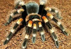 Spiders belong to a group of animals called the arachnids. They include the Wolf Spider, Trap Door Spider and the Tarantula. Pet Shrimp, Pet Tarantula, Animals And Pets, Cute Animals, Unusual Animals, Pet Spider, All Gods Creatures, Fauna, S Pic