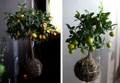 Indoor lemon tree