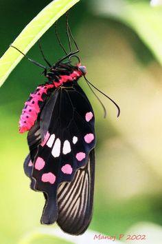 Common Rose Butterfly (Pachliopta aristolochiae Fabricius)