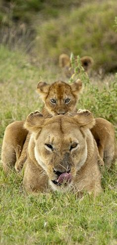 lioness and baby lion