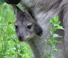 baby Wallaroo peeking out of the pouch