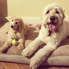 Babysitting a little one named Penelope today!  #minime #goldendoodlesofinstagram #goldendoodle #doodle #doodlelove #bestwoof #ruffpost #clubdoodle #topdogphoto #lacyandpaws #excellent_dogs #dogsofinstagram #buzzfeedfood #myoklahoma by alan_goldendoodle