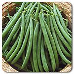 Organic Bronco Bush Bean...fresh buttered beans....Summer