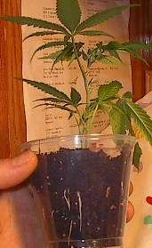 Grow Marijuana FAQ, Cannabis cultivation - marijuana growing tips & photos