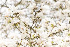 #Magnolia, #flower, #white, #blossom Snack Recipes, Snacks, Magnolia Flower, Flowers, Snack Mix Recipes, Appetizer Recipes, Appetizers, Royal Icing Flowers, Flower