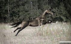Equine Photography by Ekaterina Druz - Gallery Akel Teke