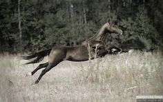 Akhal-Teke in full flight. (Click on the pic for more gorgeous horse photos.)