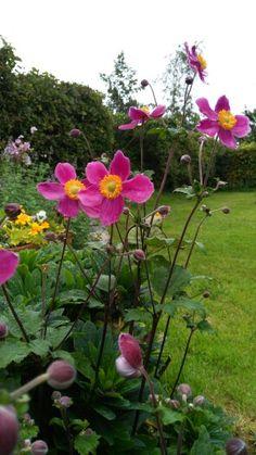 Anemone hupehensis Splendens Hammock Bed, Hammocks, Terrace, Island, Garden, Nature, Flowers, Ideas, Small Gardens
