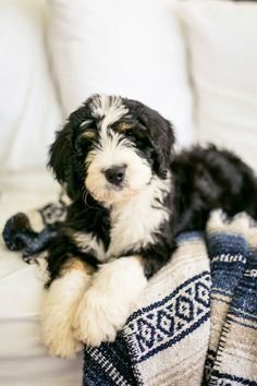 Bernedoodle Puppies — Highfalutin Furry Babies