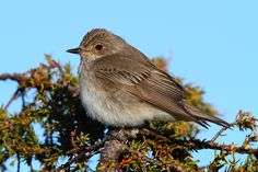 Spotted flycatcher (Muscicapa striata) - null